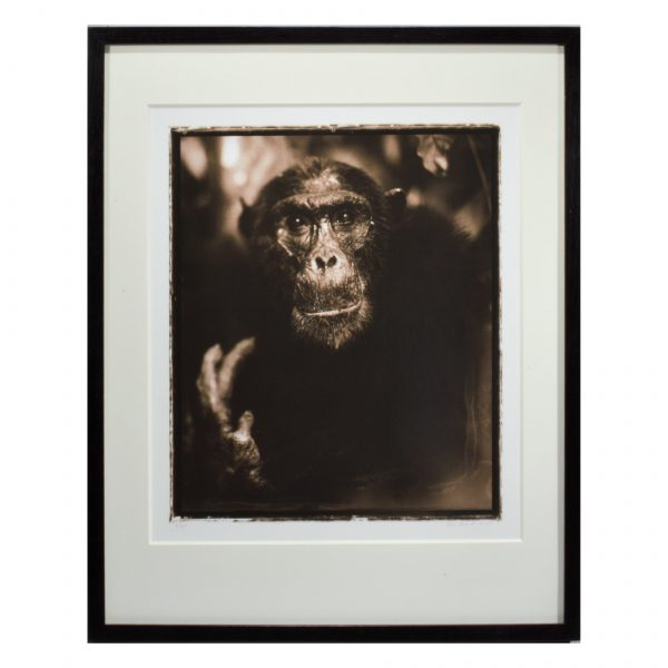 nick-brandt-photograph-chimpanzee-monkey-for-sale-DSC_0027