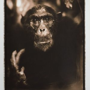 NICK BRANDT-PHOTOGRAPH-PORTRAIT OF OLD CHIMPANZEE